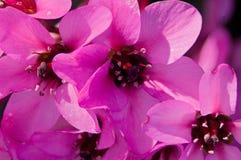 Flor del Bergenia Fotos de archivo
