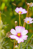 Flor del bipinnatus del cosmos Imagen de archivo