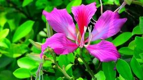 Flor del blakeana del Bauhinia almacen de metraje de vídeo