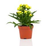 Flor del blossfeldiana de Kalanchoe imagenes de archivo