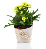 Flor del blossfeldiana de Kalanchoe para el regalo en el empaquetado de papel Fotos de archivo