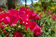 flor del bocaville imagen de archivo libre de regalías