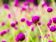 Flor del botón del soltero Fotos de archivo
