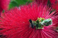 Flor del Bottlebrush en la floración en el día de primavera del sol Imágenes de archivo libres de regalías