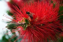 Flor del Bottlebrush en la floración en el día de primavera del sol Imagenes de archivo