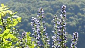 Flor del Bugloss de la víbora almacen de video
