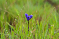 Flor del Burmannia Fotos de archivo libres de regalías