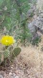 Flor del cacto Fotografía de archivo