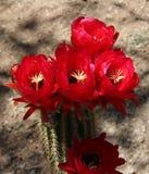Flor del cacto Imagenes de archivo