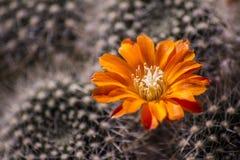 Flor del cacto Fotografía de archivo libre de regalías