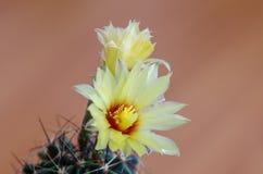 Flor del cacto fotos de archivo libres de regalías