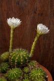 Flor #3 del cacto Imagen de archivo libre de regalías