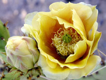 Flor del cacto de Beavertail Imagen de archivo