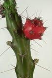 Flor del cacto de la pera de Prinkly Imagen de archivo libre de regalías