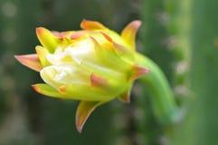 Flor del cactus Foto de archivo libre de regalías