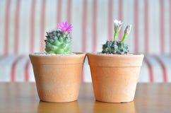 Flor del cactus Imagen de archivo