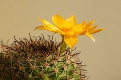 Flor del cactus: Beneckei del Mammillaria Foto de archivo libre de regalías