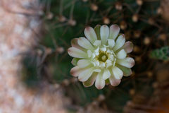 Flor del cactus, cierre encima del tiro Imágenes de archivo libres de regalías