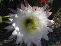 Flor del cactus con la abeja Imágenes de archivo libres de regalías