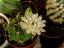 Flor del cactus de Gymnocalicium Foto de archivo