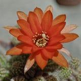 Flor del cactus de Lobivia Imagen de archivo libre de regalías
