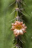 Flor del cactus de Senita Fotos de archivo