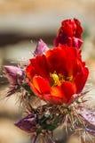 Flor del cactus de Staghorn Foto de archivo
