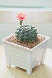 Flor del cactus del Gymnocalycium Imágenes de archivo libres de regalías