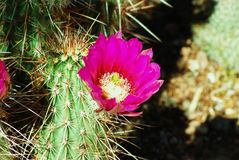 Flor del cactus del higo chumbo de Arizona imagenes de archivo