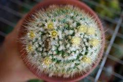 Flor del cactus: Karwinskiana del Mammillaria Foto de archivo
