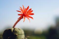 Flor del cactus: Madisoniorum de Matucana Fotos de archivo