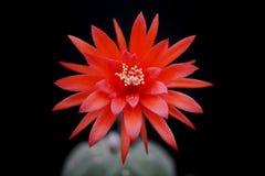 Flor del cactus: Madisoniorum de Matucana Imagen de archivo libre de regalías