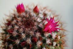 Flor del cactus: Rhodantha del Mammillaria Imagenes de archivo