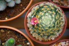 Flor del cactus: Schiedeana del Mammillaria Imágenes de archivo libres de regalías