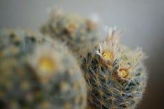 Flor del cactus: Schiedeana del Mammillaria Fotos de archivo libres de regalías