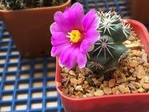 Flor del cactus del schumannii del Mammillaria Imágenes de archivo libres de regalías