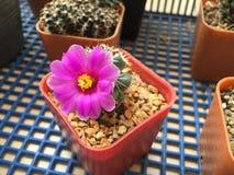 Flor del cactus del schumannii del Mammillaria Fotos de archivo