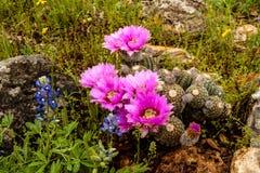 Flor del cactus y el Bluebonnet Imagen de archivo