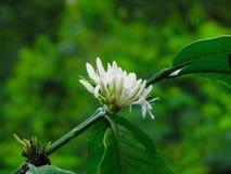 Flor del café en Bali Indonesia Imagen de archivo