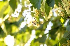 flor del Cal-árbol con la abeja Fotos de archivo
