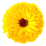 Flor del Calendula Fotografía de archivo