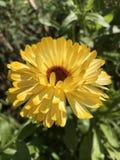Flor del Calendula Fotos de archivo libres de regalías