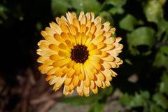 Flor del Calendula de Bloomimg Fotografía de archivo libre de regalías