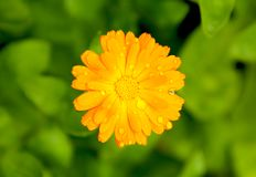 Flor del calendula de la maravilla con gotas de lluvia Imagenes de archivo