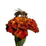 Flor del calendula y de la abeja Imágenes de archivo libres de regalías