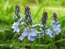 Flor del campo del Veronica. Foto de archivo libre de regalías