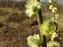 Flor del caprea del Salix del sauce Fotografía de archivo libre de regalías