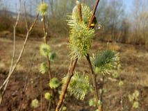 Flor del caprea del Salix del sauce Fotografía de archivo