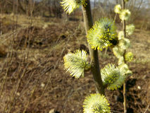 Flor del caprea del Salix del sauce Fotos de archivo libres de regalías
