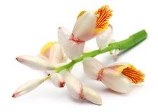 Flor del cardamomo foto de archivo libre de regalías